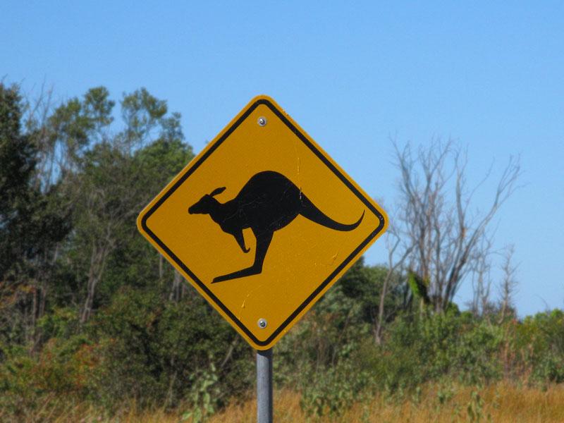 Kangaroo danger