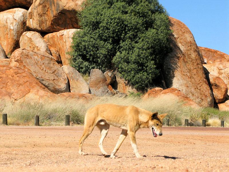 Our first dingo