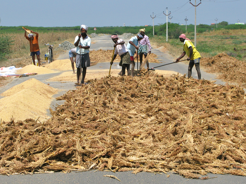 Threshing millet on the road