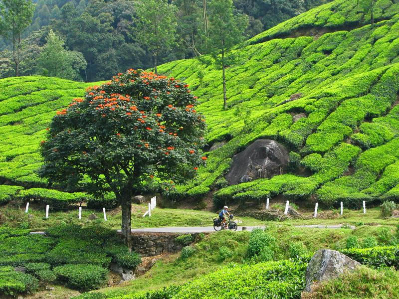 Tea plantations on way to Munnar